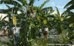 A Banana Plantation in Florida
