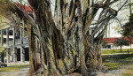 A Banyan Tree in Florida