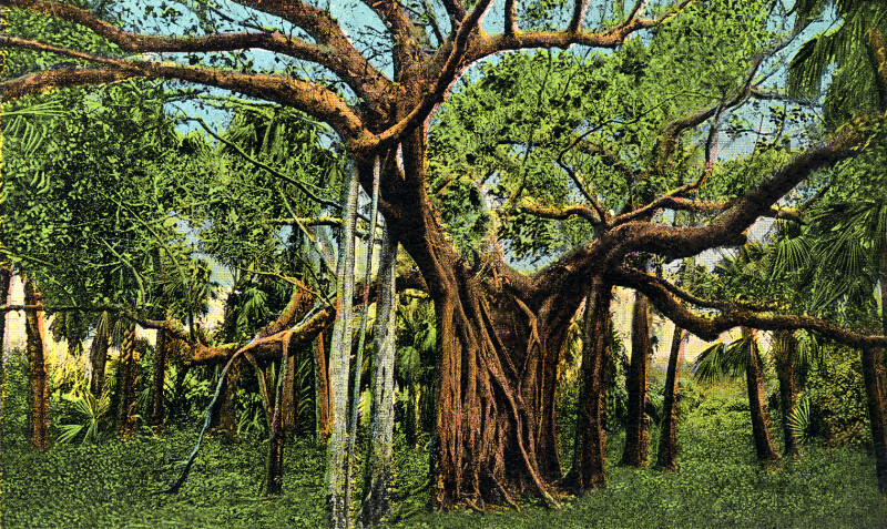 A Banyan Tree in Palm Beach, Florida