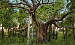 A Banyan Tree in Palm Beach