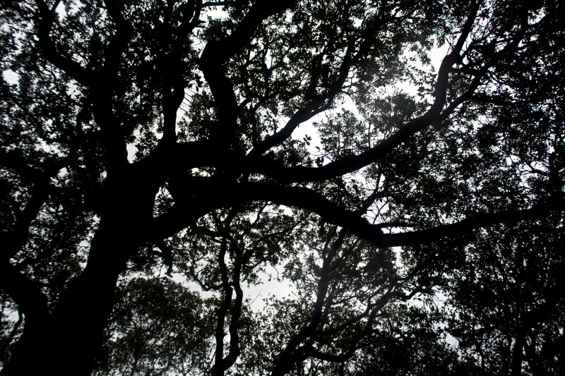 A Canopy of Oaks