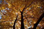 A Canopy of Orange Leaves