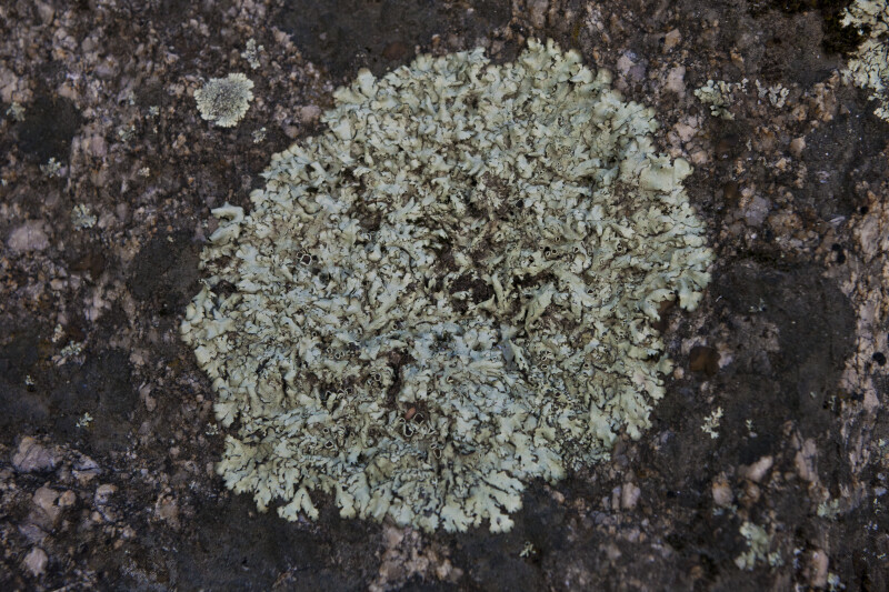 A Close-Up of a Lichen Thallus