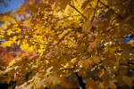 A Close-Up of Yellowish-Orange Leaves on the Branch of a Tree