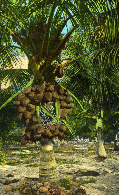 A Cocoanut Tree