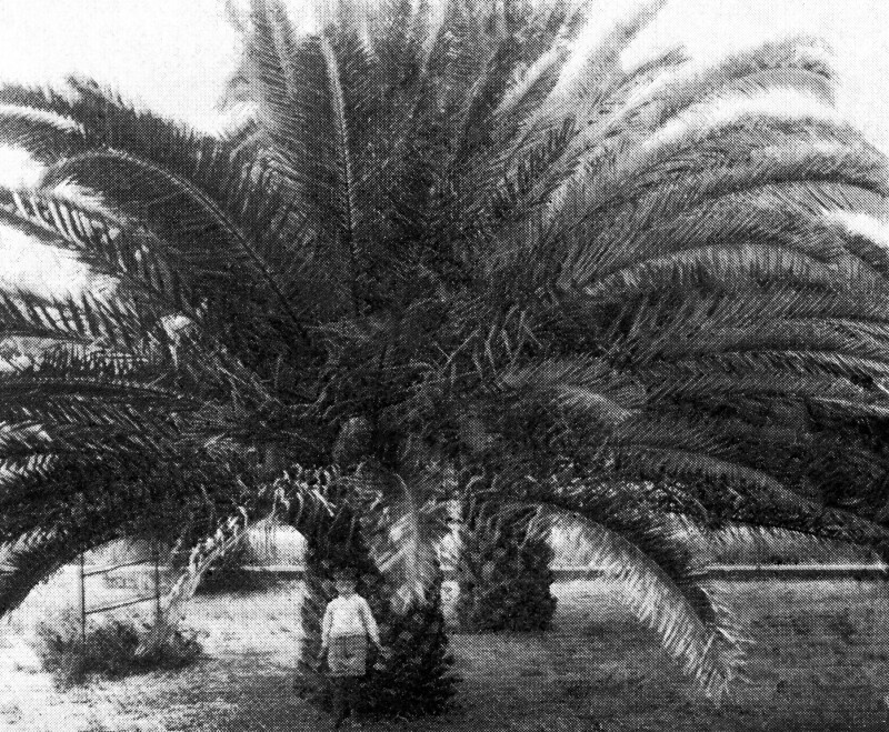 A Couple of Date Palms