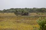 A Fallen Red Cedar Tree at Fort Matanzas