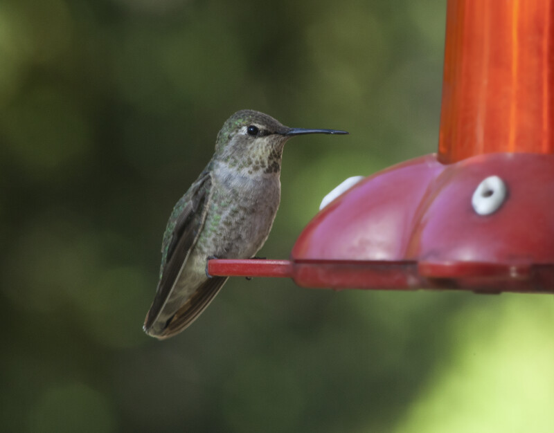A Female Hummingbird Perched on a Bird Feeder