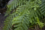 A Fern in Hetch Hetchy Valley