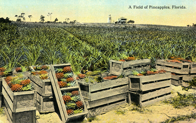 A Field of Pineapples in Florida