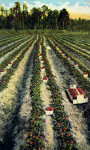 A Field of Strawberries in Florida