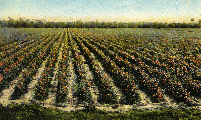 A Field of Tomatoes in Florida