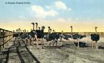 A Florida Ostrich Farm