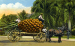A Good Wagon Load of Pineapples from Florida