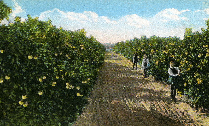 A Grapefruit Grove in Florida