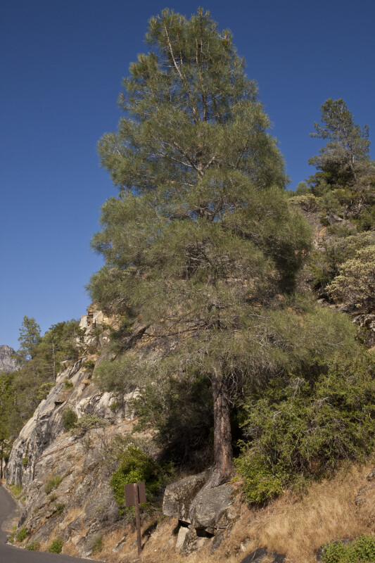 A Gray Pine on a Slope