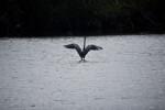 A Great Blue Heron Wings Spread