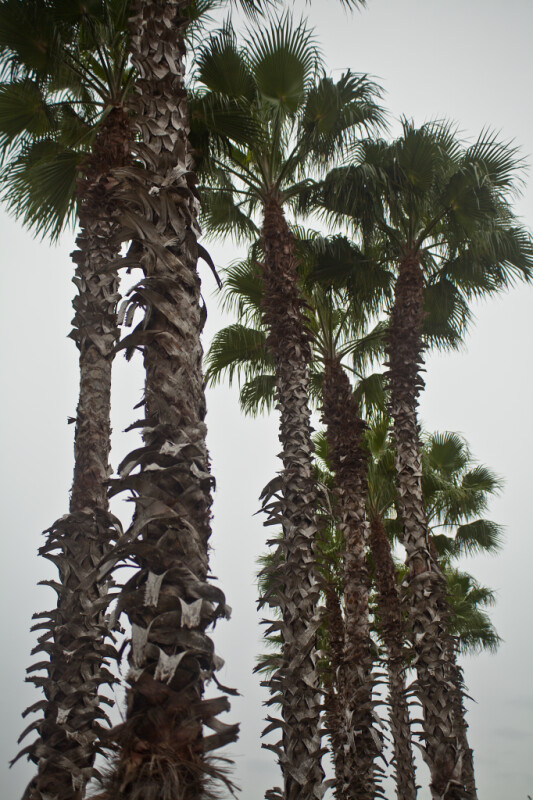 A Group of Palm Trees