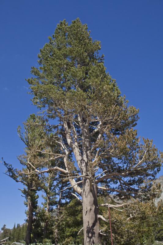 A Lodgepole Pine in Tuolumne Meadow
