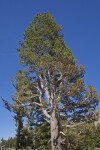 A Lodgepole Pine in Tuolumne Meadow