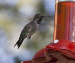 A Male Hummingbird with Wings on the Downbeat