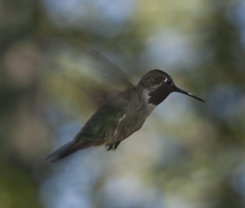 A Male Hummingbird with Wings on the Upbeat