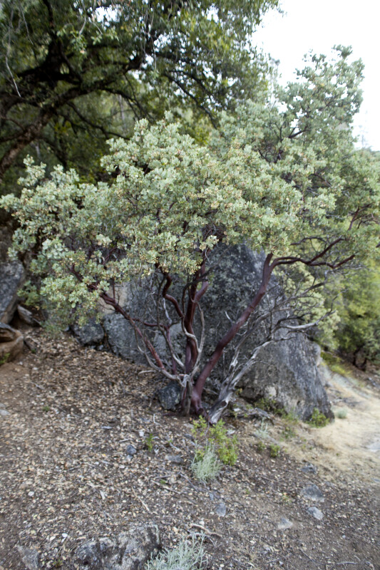 A Manzanita Growing near a Rock