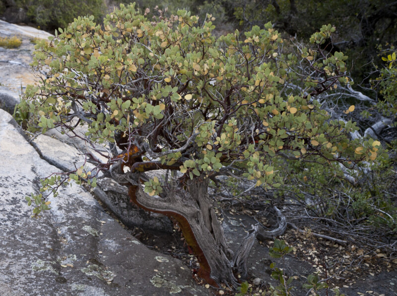 A Manzanita Shrub Growing in the Rocks