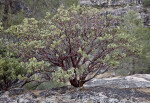 A Manzanita Shrub with a Backdrop of Granite