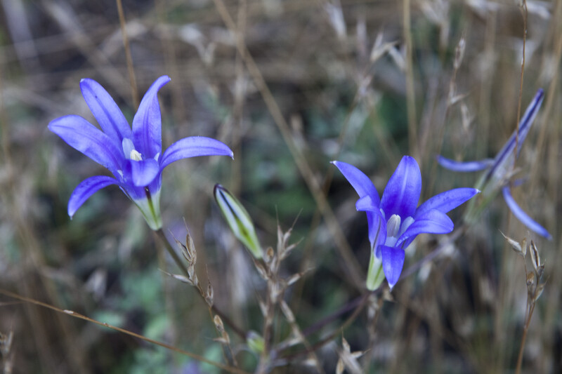 A Pair of Purple Wildflowers