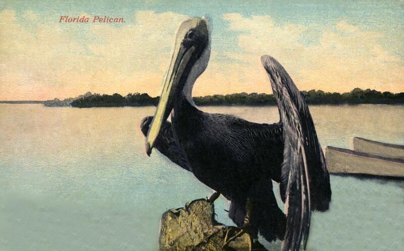 A Pelican in Florida