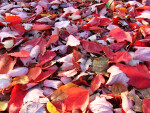 A Pile of Red Autumn Leaves