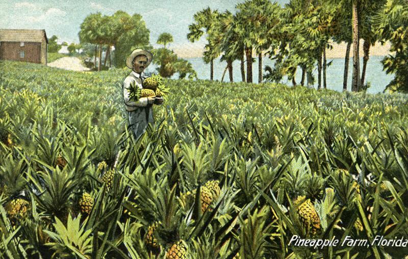 A Pineapple Farm in Florida