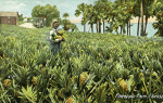 A Pineapple Farm in Florida