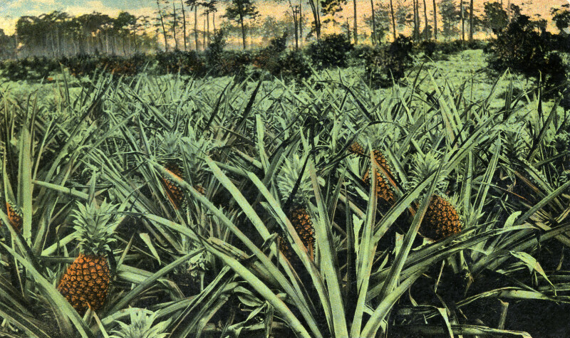 A Pineapple Field in Florida