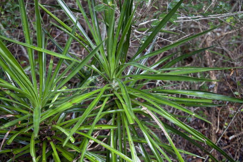 A Plant with Long, Thin Leaves