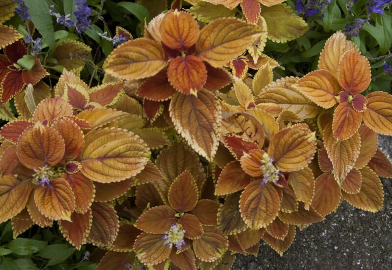 A Plant with Reddish-Orange Leaves