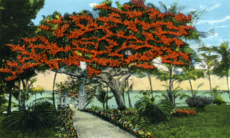 A Royal Poinciana Tree at Ritter Estate