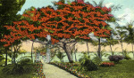 A Royal Poinciana Tree, Riter Estate Grounds, Palm Beach, Florida