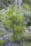 A Small Pine Tree in the Hetch Hetchy Valley