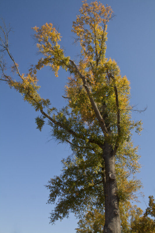 A Tall Tree Growing near the Corinth Civil war Interpretive Center