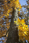 A Tall Tree with Yellow Leaves