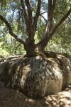 A Tree Growing in a Rock