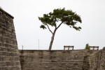 A Tree Growing outside Castillo de San Marcos