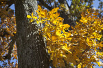 A Tree with a Cluster of Yellow Leaves