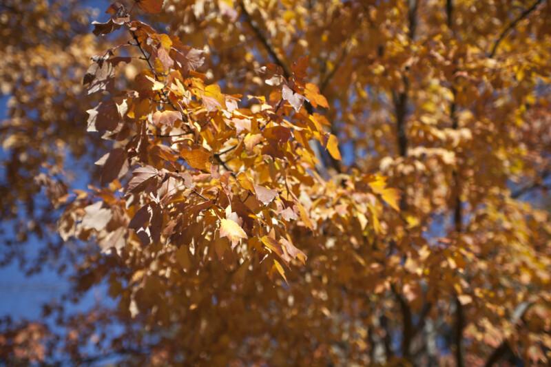 A Tree with Fall Foliage