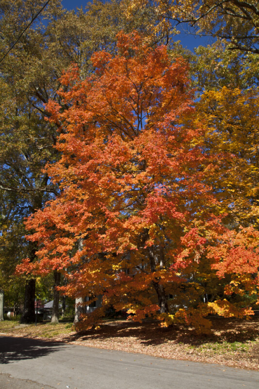 A Tree with Reddish-Orange Leaves
