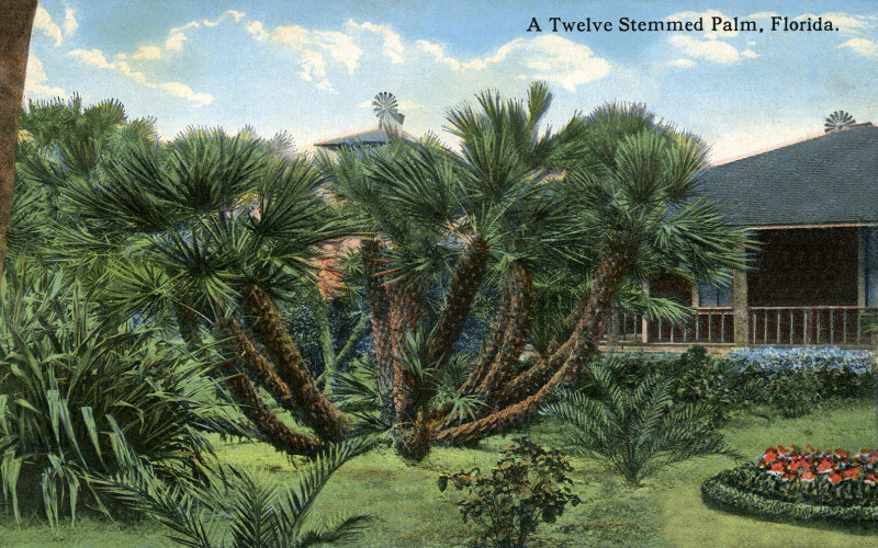 A Twelve Stemmed Palm in Florida