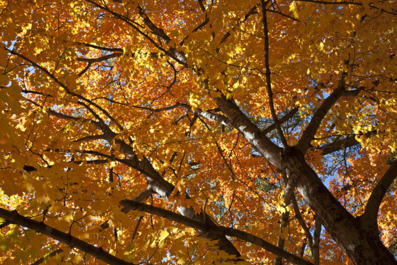 A View of a Tree with Reddish-Orange Leaves