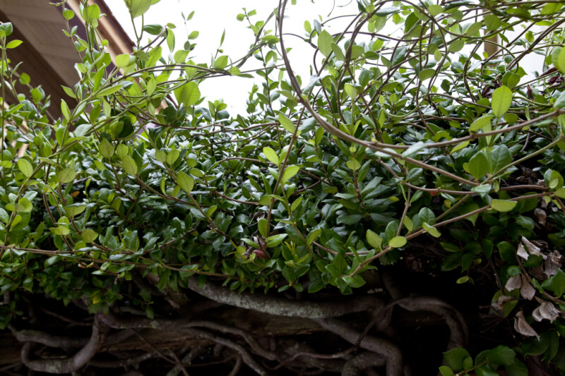 A View of Ficus Leaves and Fruit